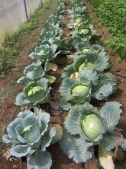 cabbage rows1